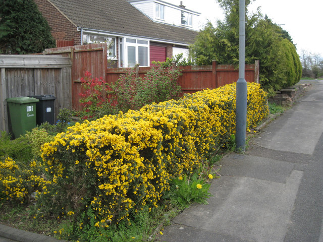 Gorse hedge, east end of Millbank
