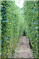 TQ8029 : Hop row at Hoad's Farm by Oast House Archive