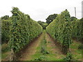 TQ8129 : Modern hop field at Hoad's Farm by Oast House Archive