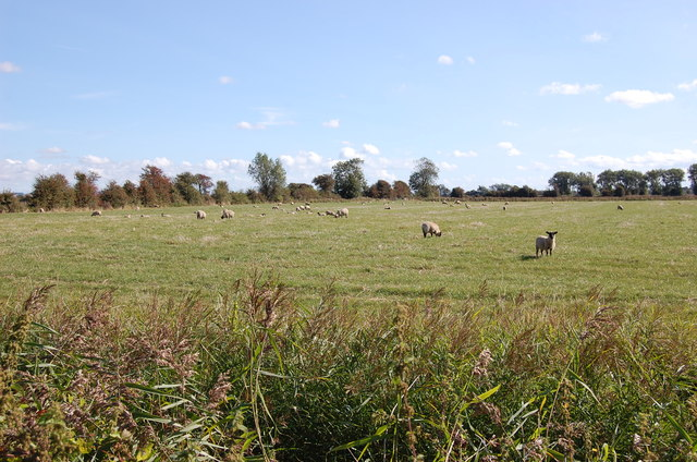 Sheep on Romney Marsh
