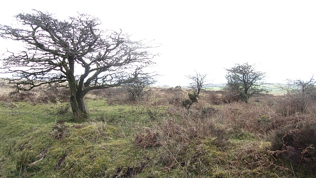 Thorn trees, West Anstey Common