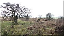 SS8429 : Thorn trees, West Anstey Common by Richard Webb