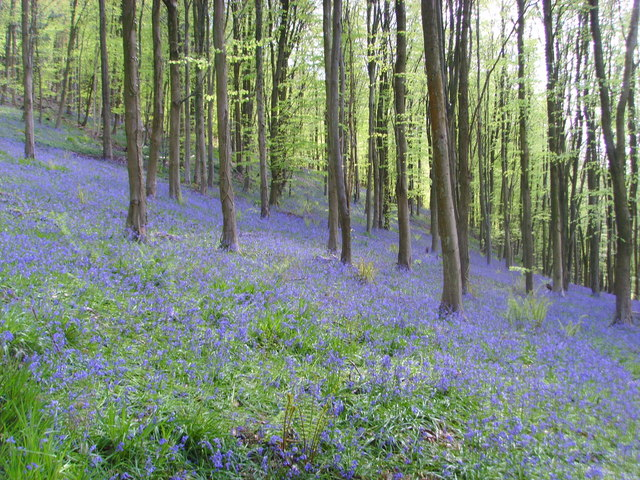 wentwood bluebells in the spring