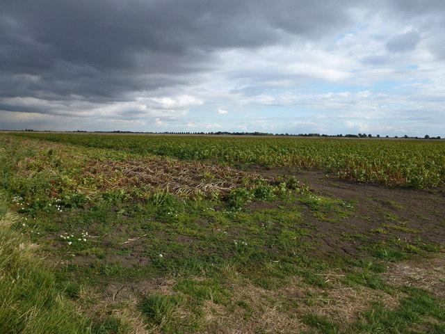 Potato crop on Upper Knarr Fen south of Thorney