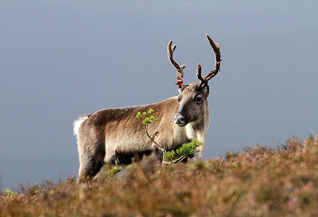 A reindeer at Creagan Gorm
