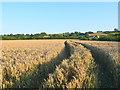 ST3818 : Wheatfield at Barrington. by Nigel Mykura