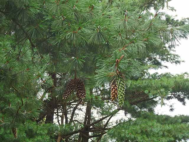 The Pine collection, JF Kennedy Memorial Arboretum