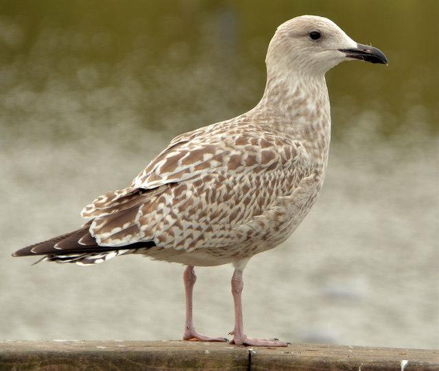 Juvenile gull, Newtownards