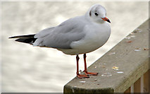 J4774 : Black-headed gull, Newtownards by Albert Bridge