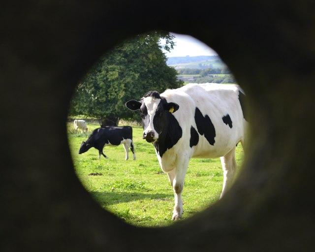 Through a hole in a stone gatepost - cattle near Pilsley
