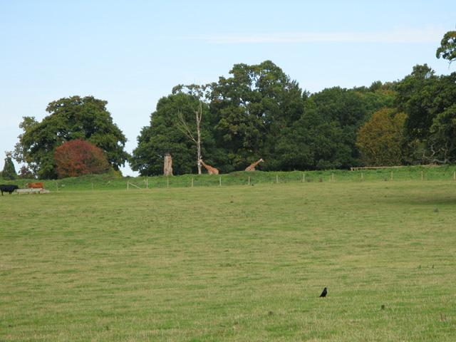 Grazing giraffes