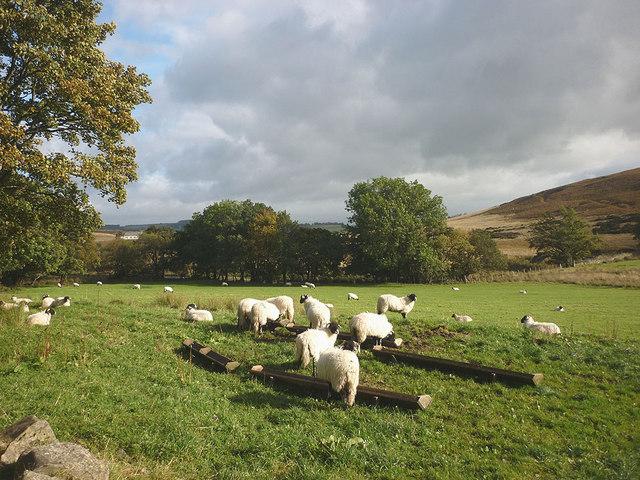 Swaledale lambs by Swindale Lane