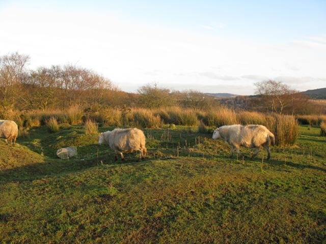 Sheep exodus near Carn-y-Crochan farm