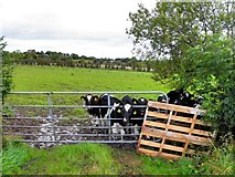 H4963 : Calves behind a gate, Seskinore by Kenneth  Allen