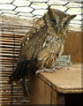 SO2954 : Owl at Small Breeds Farm and Owl Centre, Kington, Herefordshire by Christine Matthews