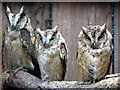 SO2954 : Owls at Small Breeds Farm and Owl Centre, Kington, Herefordshire by Christine Matthews