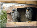SO2954 : Black Banded Owl at Small Breeds Farm and Owl Centre, Kington, Herefordshire by Christine Matthews