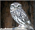 SO2954 : Little Owl at Small Breeds Farm and Owl Centre, Kington, Herefordshire by Christine Matthews