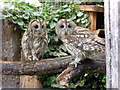 SO2954 : Tawny Owls at Small Breeds Farm and Owl Centre, Kington, Herefordshire by Christine Matthews