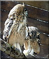 SO2954 : Eagle Owls Feeding on Chick at Small Breeds Farm and Owl Centre, Kington, Herefordshire by Christine Matthews