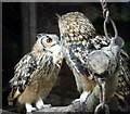 SO2954 : Going Courting - Eagle Owls Feeding on Chick at Small Breeds Farm and Owl Centre, Kington, Herefordshire by Christine Matthews