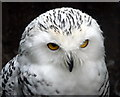 SO2954 : Snowy Owl at Small Breeds Farm and Owl Centre, Kington, Herefordshire by Christine Matthews
