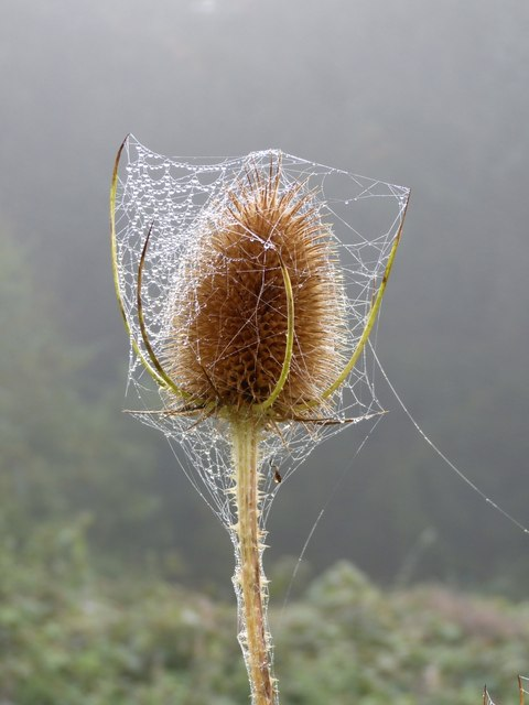 Teasel with webs and dew