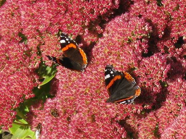 Butterflies and bees at Glamis