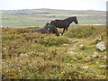 SW3828 : Dartmoor ponies on Carn Brea by Edmund Gooch