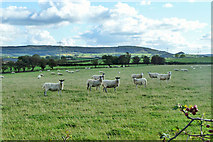 SE4398 : Sheep by Stoney Lane by Robin Webster