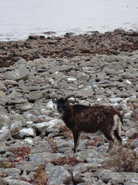 Dark brown soay sheep on Holy Isles rocky shore