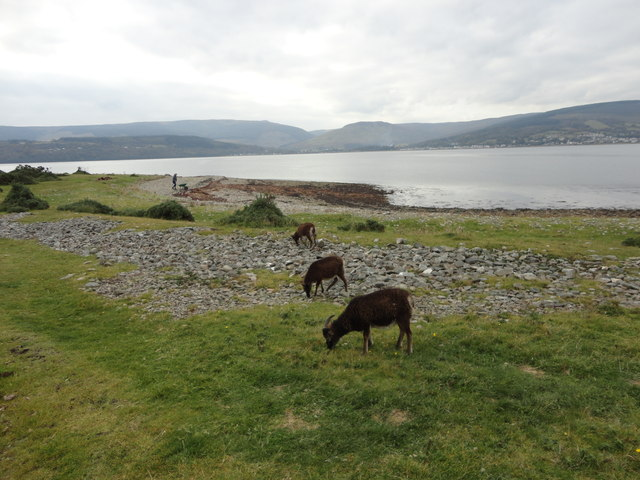 Dark brown soay sheep on Holy Isle shore