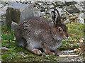 NN8154 : Mountain Hare by Anne Burgess