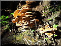 SP9411 : Large polypore fungus on fallen tree by Rob Farrow