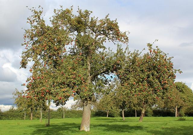 Elderly apple tree, Awnells, Much Marcle