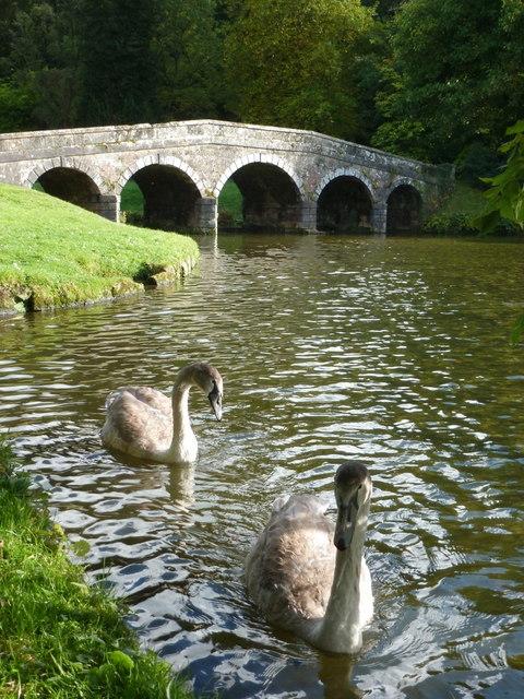 Stourhead: cygnets by the Stone Bridge