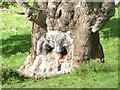 ST7734 : Stourhead: the owl in the tree trunk by Chris Downer