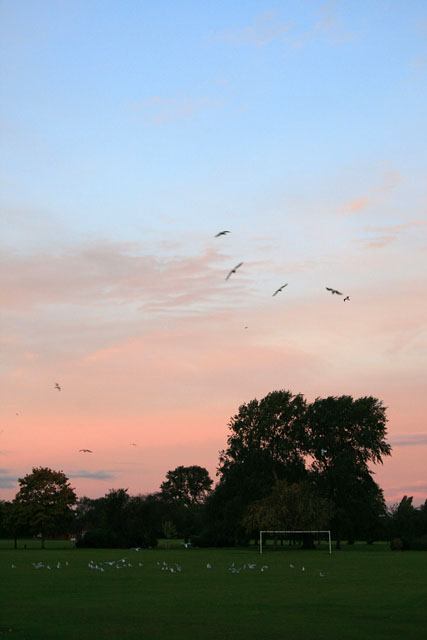 Black-headed gulls at dawn