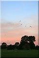 SK4833 : Black-headed gulls at dawn by David Lally