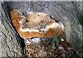 TQ0198 : The Warted Oak Polypore by Des Blenkinsopp