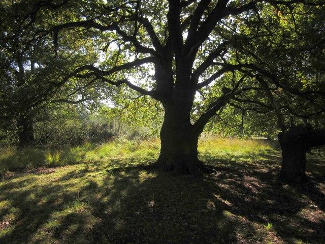 Tree on Wimbledon Common