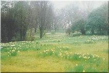 SH7972 : Daffodils in Bodnant Garden by John Baker