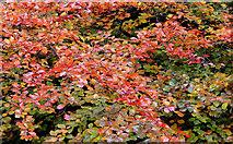 J3269 : Autumn beech leaves near Shaw's Bridge, Belfast by Albert Bridge