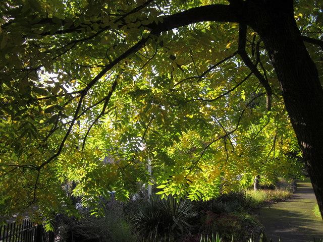 Ash tree, Upton Park