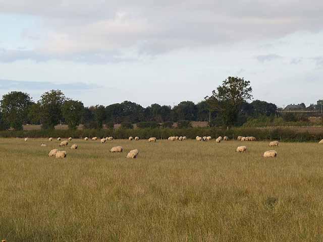 Sheep in field off Hemingsby Lane