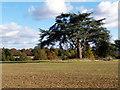 SU7482 : Cedar Tree near Badgemore House by Des Blenkinsopp