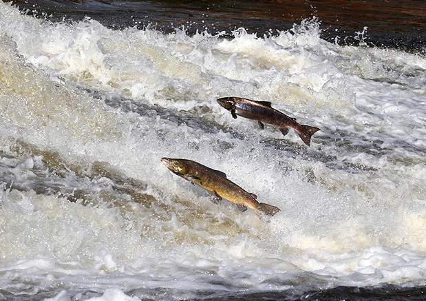 Salmon at Murray's Cauld, Philiphaugh