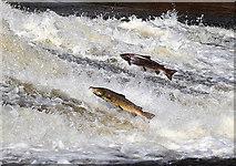 NT4427 : Salmon at Murray's Cauld, Philiphaugh by Walter Baxter