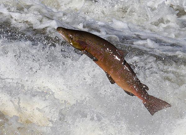 A salmon jumping at Murray's Cauld, Philiphaugh