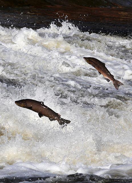 Jumping salmon at Murray's Cauld, Philiphaugh
